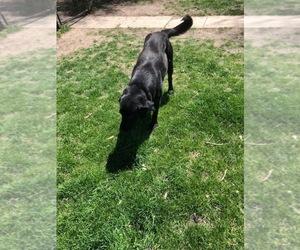 Labrador Retriever-Unknown Mix Puppy for sale in VALPARAISO, NE, USA