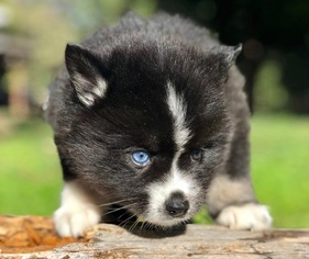 Puppyfinder com: Pomsky puppies for sale near me in California, USA
