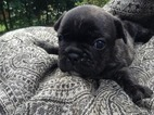 French Bulldog Puppy For Sale in MEXICO, ME, USA