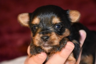 Yorkshire Terrier Puppy For Sale in MARYSVILLE, WA, USA