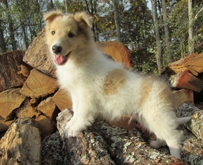 Collie Puppy For Sale in WOODBURY, TN