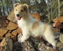 AKC Collie Pups