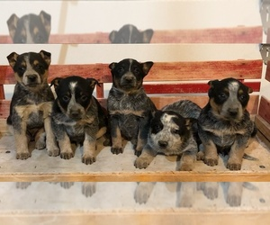 Australian Cattle Dog Puppy for sale in CHESTERFIELD, MI, USA