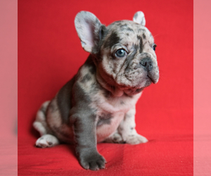 French Bulldog Puppy for Sale in DOUGLASVILLE, Georgia USA