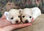 Maltese Puppy For Sale in SYLVA, NC, USA