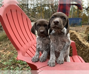 German Shorthaired Pointer Puppy for sale in FOSTER, RI, USA