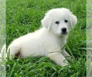 Great Pyrenees Puppy for Sale in SHELBYVILLE, Tennessee USA