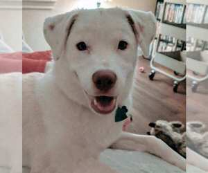 Labrador Retriever Mix Dog for Adoption in AUSTIN, Texas USA