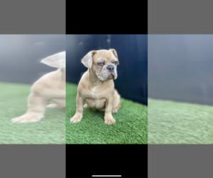 French Bulldog Puppy for sale in SAN BERNARDINO, CA, USA