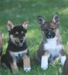 German Shepherd Dog-Siberian Husky Mix Puppy For Sale in WEBBERVILLE, MI, USA