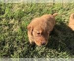 Small #11 Golden Retriever