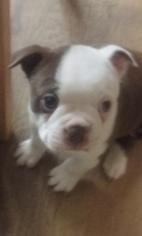 Boston Terrier Puppy For Sale in GATESVILLE, TX
