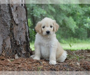 Goldendoodle Puppy for sale in BERLIN, NJ, USA