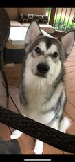 One Year Old Alaskan Malamute Pure Bred