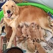 Golden Retriever Puppy For Sale in OAKHURST, CA