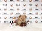 Mal-Shi-Unknown Mix Puppy For Sale in TEMPLE CITY, CA, USA