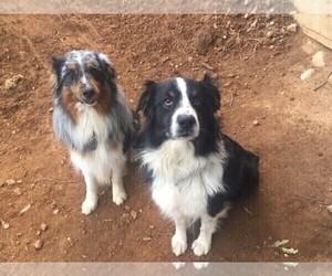Father of the Australian Shepherd puppies born on 01/31/2021