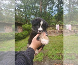 Miniature American Shepherd Puppy for sale in JACKSONVILLE, FL, USA