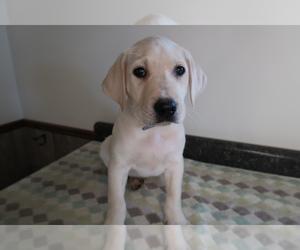 Labrador Retriever Dog for Adoption in BLOOMINGTON, Indiana USA