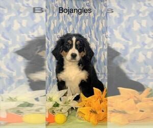 Medium Bernese Mountain Dog