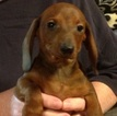 Dachshund Puppy For Sale in MOBILE, AL, USA