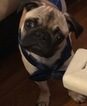 Pug Puppy For Sale in SNELLVILLE, GA, USA