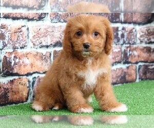 Cavachon Dog for Adoption in BEL AIR, Maryland USA