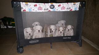 Bulldog Puppy For Sale in TEMPLE, TX, USA