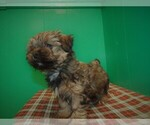 Small #3 Shorkie Tzu