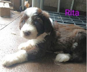 Aussiedoodle Puppy for Sale in MARION, Texas USA