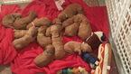 Goldendoodle Puppy For Sale in MARIETTA, GA,