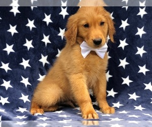 Golden Retriever Dog for Adoption in QUARRYVILLE, Pennsylvania USA