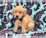 Jade the AKC Golden Retriever