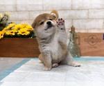 Small Photo #6 Shiba Inu Puppy For Sale in LOS ANGELES, CA, USA