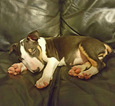 Bull Terrier Puppy For Sale in INDIANAPOLIS, IN
