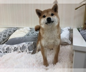 Shiba Inu Dog for Adoption in HILO, Hawaii USA