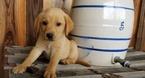 Labrador Retriever Puppy For Sale in HARRISON, AR, USA