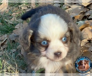 Miniature Australian Shepherd Puppy for sale in GRANBURY, TX, USA