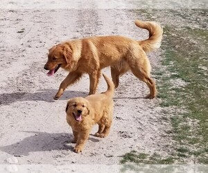Golden Retriever Puppy for sale in TWIN FALLS, ID, USA