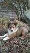 Shetland Sheepdog Puppy For Sale in FINCASTLE, VA, USA