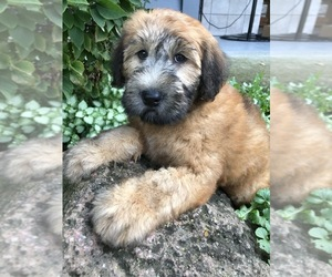 Soft Coated Wheaten Terrier Puppy for Sale in RICHMOND, Illinois USA