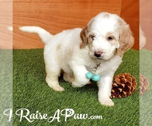 Goldendoodle-Poodle (Standard) Mix Dog for Adoption in OVERGAARD, Arizona USA