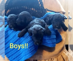 Bernedoodle Puppy for sale in OTTAWA, OH, USA