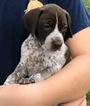 German Shorthaired Pointer Puppy For Sale in LITHIA, FL, USA