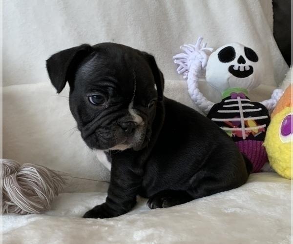 Medium Photo #11 French Bulldog Puppy For Sale in JOHNS ISLAND, SC, USA