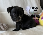 Small Photo #11 French Bulldog Puppy For Sale in JOHNS ISLAND, SC, USA