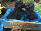 Labradoodle Puppys F1B  CKC Registered