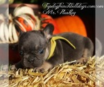 Puppy 10 French Bulldog