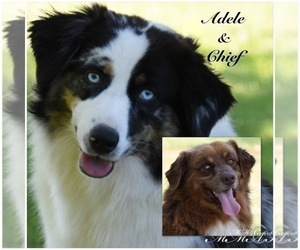 Mother of the Australian Shepherd puppies born on 06/29/2020