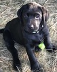 Labrador Retriever Puppy For Sale in MOSSYROCK, WA
